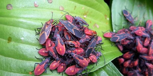 Box elder bug removal in Minnetonka, MN