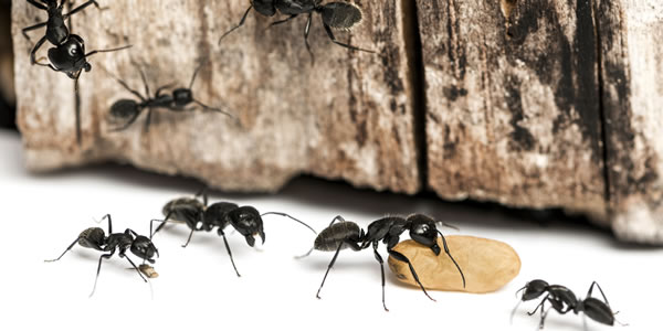 Ant exterminator in Plymouth, MN